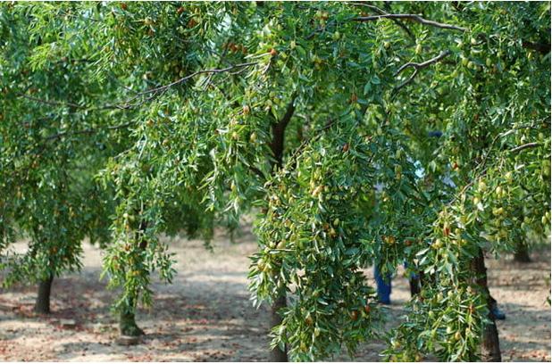 三十万亩枣林生态旅游区