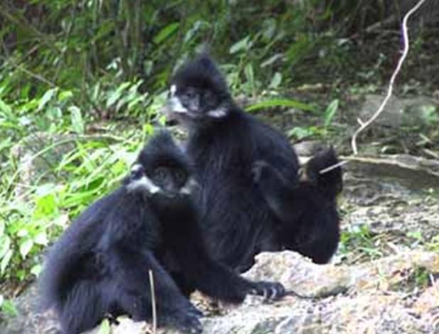 保护区内生存有国家一级保护动物黑叶猴及二级保护动